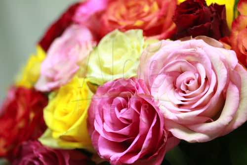 Bouquet Rose Multi 500  44